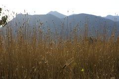Χρυσές χλόες με το πορφυρό υπόβαθρο βουνών στοκ φωτογραφία με δικαίωμα ελεύθερης χρήσης