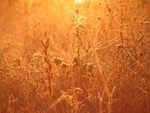 Χρυσές χλόες στην ανατολή στοκ εικόνα