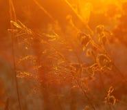 Χρυσές χλόες στο ηλιοβασίλεμα στοκ εικόνα με δικαίωμα ελεύθερης χρήσης