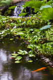 Χρυσή λίμνη ψαριών στον τροπικό βοτανικό κήπο της Χαβάης, Στοκ εικόνα με δικαίωμα ελεύθερης χρήσης