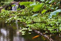 Χρυσή λίμνη ψαριών στον τροπικό βοτανικό κήπο της Χαβάης Στοκ Εικόνες