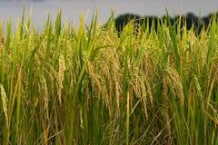 Χρυσή ακίδα τομέων ρυζιού Στοκ εικόνες με δικαίωμα ελεύθερης χρήσης