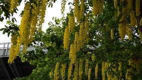 Χρυσή αλυσίδα Laburnum vulgare απόθεμα βίντεο