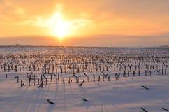 Χρυσή ανατολή που πετά τις μακριές σκιές σε έναν χιονώδη τομέα των κομμένων μίσχων καλαμποκιού στοκ εικόνα με δικαίωμα ελεύθερης χρήσης