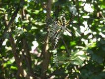 Χρυσή αράχνη κήπων Στοκ φωτογραφίες με δικαίωμα ελεύθερης χρήσης