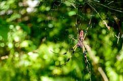 Χρυσή αράχνη μεταξιού με το smal αρσενικό Στοκ Εικόνες