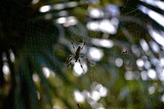 χρυσή αράχνη μεταξιού Στοκ Φωτογραφίες