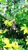 χρυσή αράχνη σφαιρών Στοκ Εικόνες