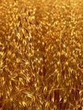 χρυσή βρώμη Στοκ φωτογραφίες με δικαίωμα ελεύθερης χρήσης