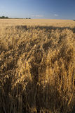 χρυσή βρώμη στοκ φωτογραφίες