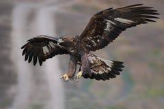 Χρυσή εισερχόμενη πτήση αετών Στοκ εικόνες με δικαίωμα ελεύθερης χρήσης