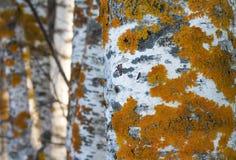 Χρυσή λειχήνα ασπίδων Στοκ Φωτογραφία