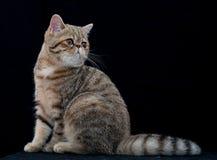 Χρυσή εξωτική γενεαλογική γάτα shortair στο στούντιο Στοκ εικόνες με δικαίωμα ελεύθερης χρήσης