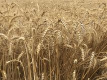 Χρυσή κίτρινη φυσική εποχιακή έννοια γεωργίας υποβάθρου τομέων σίτου Στοκ Εικόνες