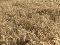 Χρυσή κίτρινη φυσική εποχιακή έννοια γεωργίας υποβάθρου τομέων σίτου Στοκ Φωτογραφία