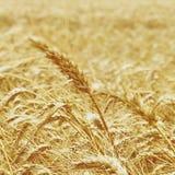 Χρυσή κίτρινη φυσική εποχιακή έννοια γεωργίας υποβάθρου τομέων σίτου Στοκ φωτογραφίες με δικαίωμα ελεύθερης χρήσης
