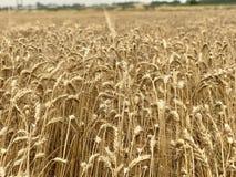 Χρυσή κίτρινη φυσική εποχιακή έννοια γεωργίας υποβάθρου τομέων σίτου Στοκ φωτογραφία με δικαίωμα ελεύθερης χρήσης