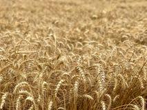 Χρυσή κίτρινη φυσική εποχιακή έννοια γεωργίας υποβάθρου τομέων σίτου Στοκ Εικόνα