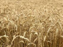 Χρυσή κίτρινη φυσική εποχιακή έννοια γεωργίας υποβάθρου τομέων σίτου Στοκ Φωτογραφίες