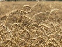 Χρυσή κίτρινη φυσική εποχιακή έννοια γεωργίας υποβάθρου τομέων σίτου Στοκ εικόνες με δικαίωμα ελεύθερης χρήσης