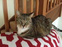 Χρυσή και μαύρη τιγρέ γάτα Στοκ εικόνα με δικαίωμα ελεύθερης χρήσης