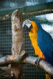 Χρυσή και μπλε κινηματογράφηση σε πρώτο πλάνο macaw Στοκ Εικόνες