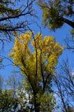 Χρυσή κορώνα ενός δέντρου στοκ εικόνα