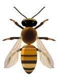 Χρυσή μέλισσα Στοκ εικόνες με δικαίωμα ελεύθερης χρήσης