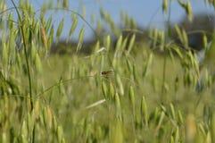 Χρυσή μύγα στο panicle στοκ φωτογραφίες με δικαίωμα ελεύθερης χρήσης