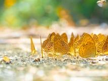 Χρυσή πεταλούδα στο έδαφος Υπόβαθρο φθινοπώρου με τα φύλλα και τις πεταλούδες στοκ εικόνες