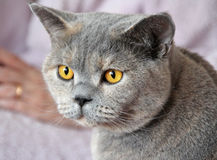 χρυσή πολυτέλεια γατών ζωνών Στοκ φωτογραφίες με δικαίωμα ελεύθερης χρήσης