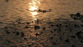Χρυσή πορεία ήλιων στα νερά ποταμού Drifteing και βαλτώδης υγρότοπος στο ηλιοβασίλεμα φιλμ μικρού μήκους