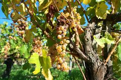 Χρυσή πύλη Burgundy, χωριό Chablis στην περιοχή Bourgogne, διάσημο για το άσπρο κρασί στοκ φωτογραφίες με δικαίωμα ελεύθερης χρήσης