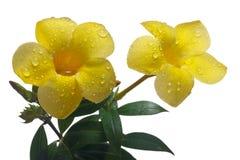 χρυσή σάλπιγγα allamanda κίτρινη Στοκ Φωτογραφία