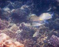 Χρυσή σέλα Rabbitfish Στοκ φωτογραφία με δικαίωμα ελεύθερης χρήσης
