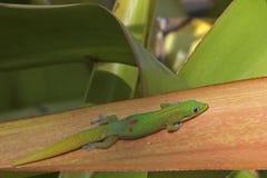 Χρυσή σκόνη ημέρα Gecko Στοκ Φωτογραφίες