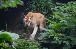 Χρυσή τίγρη στοκ εικόνα με δικαίωμα ελεύθερης χρήσης