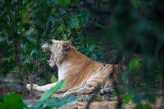 Χρυσή τίγρη στοκ εικόνα