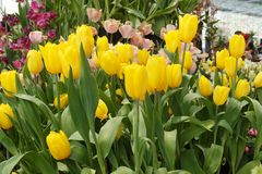 Χρυσή τουλίπα στην πώληση του καταστήματος στα φεστιβάλ λουλουδιών Rayong Στοκ Εικόνα