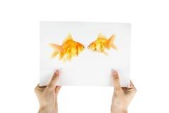 χρυσή φωτογραφία ψαριών Στοκ εικόνα με δικαίωμα ελεύθερης χρήσης