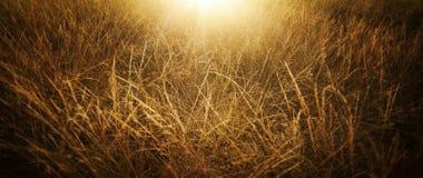 Χρυσή χλόη στους τομείς μια ηλιόλουστη θερινή ημέρα στοκ φωτογραφίες με δικαίωμα ελεύθερης χρήσης