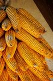 Χρυσή χρωματισμένη ξηρά οικολογική συγκομιδή καλαμποκιού στοκ εικόνες με δικαίωμα ελεύθερης χρήσης