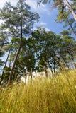 Χρυσή χλόη με το ψηλό δέντρο και μπλε ουρανός στο υπόβαθρο Στοκ Εικόνες