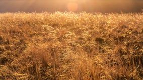Χρυσή χλόη Στοκ εικόνα με δικαίωμα ελεύθερης χρήσης