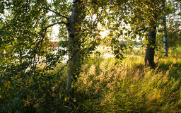 Χρυσή χλόη Στοκ Φωτογραφίες