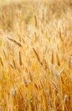 Χρυσή ώριμη σίκαλη στον τομέα στοκ φωτογραφία με δικαίωμα ελεύθερης χρήσης