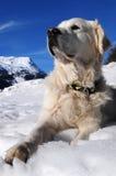 χρυσή retriever βουνών ελβετική &kappa Στοκ Εικόνες