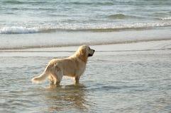 χρυσή retriever θάλασσα στοκ φωτογραφίες