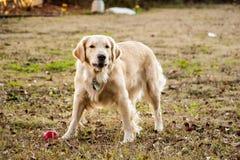 Χρυσή Retriever κόκκινη σφαίρα σκυλιών Στοκ φωτογραφία με δικαίωμα ελεύθερης χρήσης