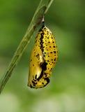 χρυσαλίδες εγγράφου ικτίνων πεταλούδων στοκ εικόνες με δικαίωμα ελεύθερης χρήσης